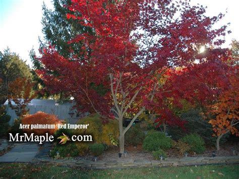 buy acer palmatum emperor 1 japanese maple mr maple buy japanese maple trees