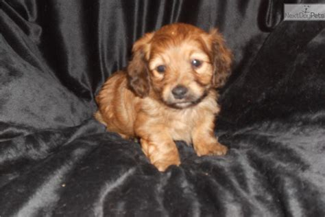 doxiepoo puppies for sale dachshund mini puppy for sale near springfield missouri e0488530 c0f1