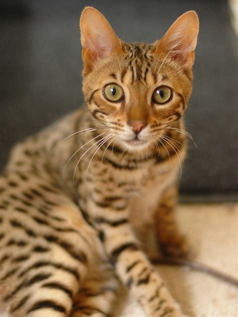 Bengal cat   Simple English Wikipedia, the free encyclopedia