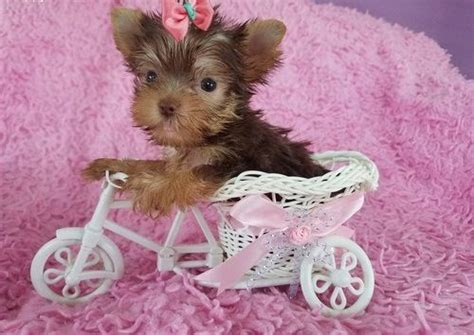 teacup yorkies for sale 500 teacup yorkie puppies for adoption teacup yorkies for sale