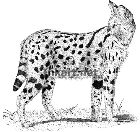 african cats coloring pages image gallery serval drawings