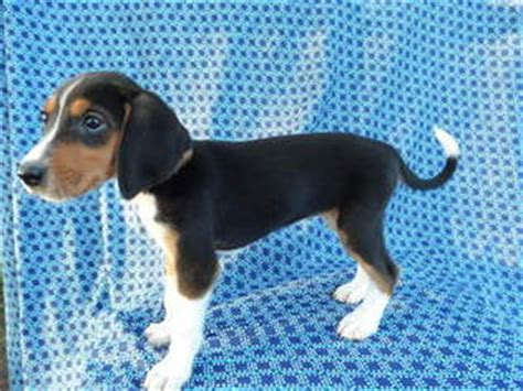 foxhound puppies for sale view ad american foxhound puppy for sale missouri