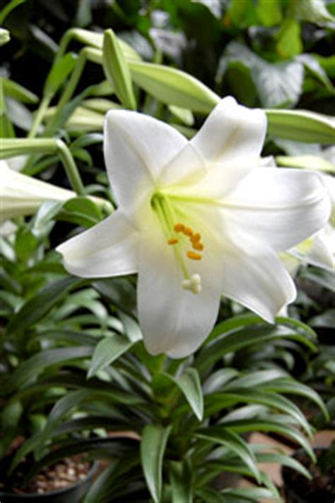 can easter lilies be planted outside easter lilies payne s nurseries