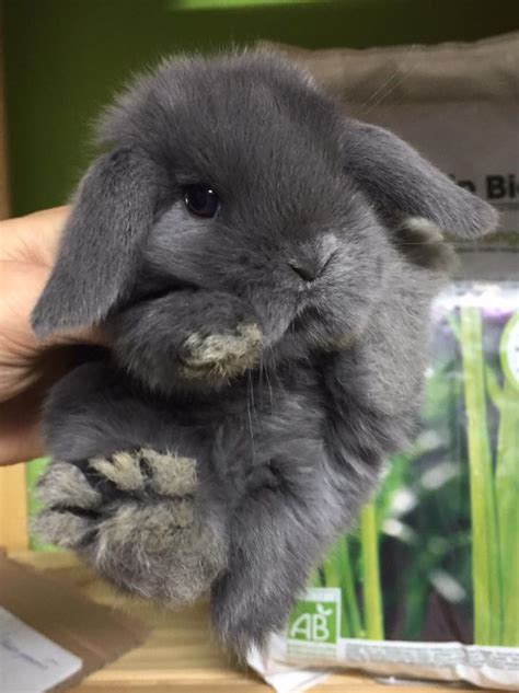 coniglio ariete nano alimentazione cuccioli disponibili la stalla dei conigli allevamento e