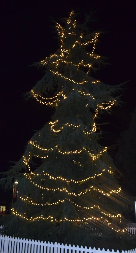2014 advent botany day 15 the christmas tree culham