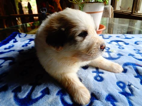 great pyrenees puppies for sale in ga view ad great pyrenees puppy for sale dallas usa