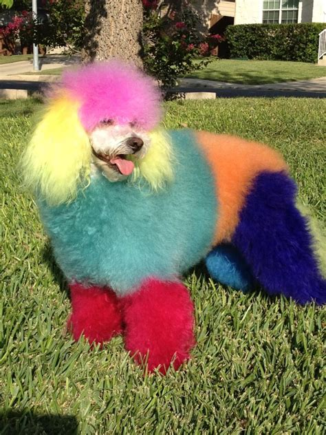 poofy rainbow poodle boing boing