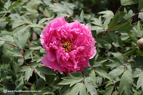peony plants 2015 home design ideas