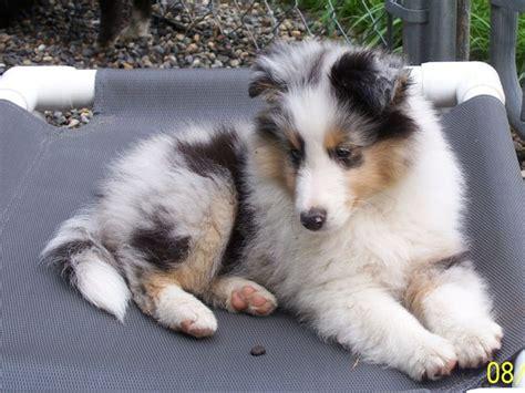blue merle sheltie puppies blue merle sheltie pup kc is better with a sheltie blue merle