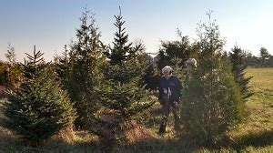 christmas tree farm in chicagoland area chicagoland illinois tree farms choose and cut trees tree lots with pre