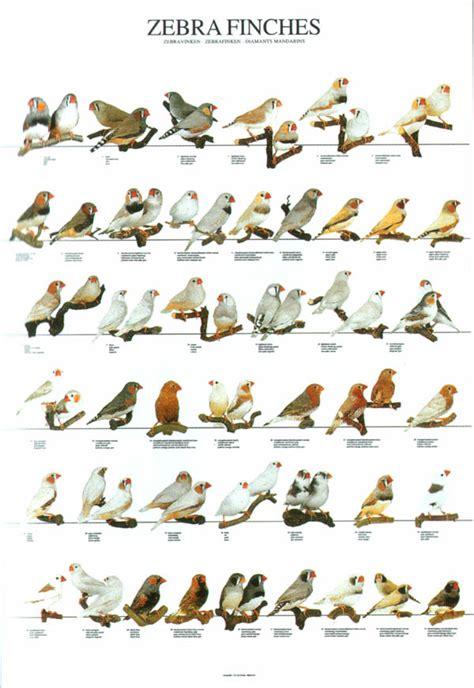 ladygouldianfinch com bird posters