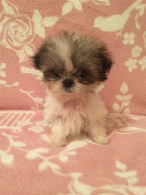 teacup shih tzu for adoption teacup shih tzu puppies darlington county durham pets4homes