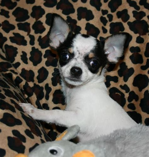 puppies for sale tacoma chihuahua puppy for sale in tacoma wa adn 46652 on puppyfinder gender age