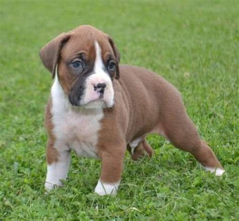 boxer puppies available now intelligent boxer puppies available now for sale adoption from toronto ontario