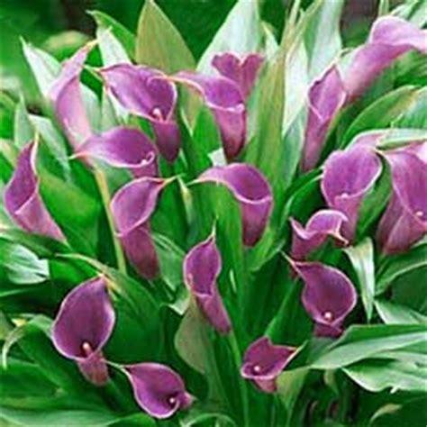 wholesale calla lilies flowers lilies flowers