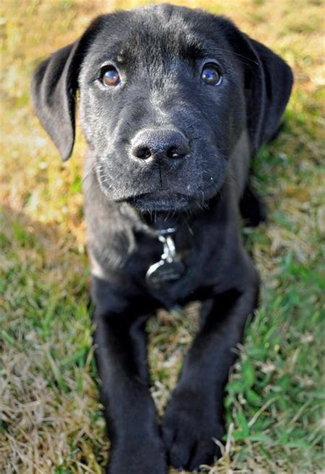black lab pitbull mix puppy pitbull black lab mix puppy breed mixed black labpit breeds picture