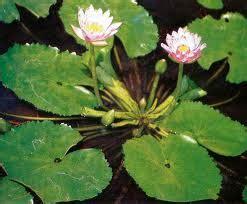 Obat Amandel Herbal Uh tanaman herbal untuk mengatasi darah tinggi