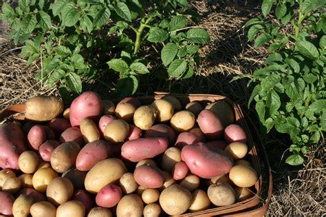 Backyard Potatoes by Potatoes Bloominthyme