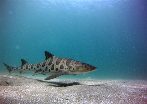 Leopard Syari keeping sharks in perspective one world one