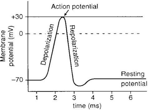 action potential graph human anatomy    aut