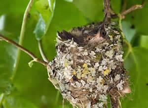 hummingbird nest 2 photograph by sabine edrissi