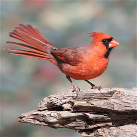 wild about birds how to attract northern cardinals to