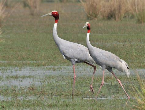 tikling birds