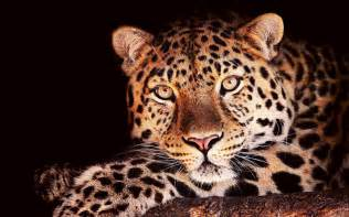 Jaguars Wallpaper Jaguar Animal Wallpaper Coryn Smith Flickr