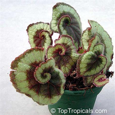 rex begonia escargot for sale images