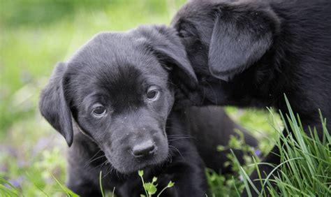 alimentazione labrador retriever allevamento cani bari pensione per cani labrador retriever