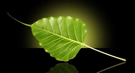 Bodhi Leaf bodhi leaf photo 1392651 freeimages