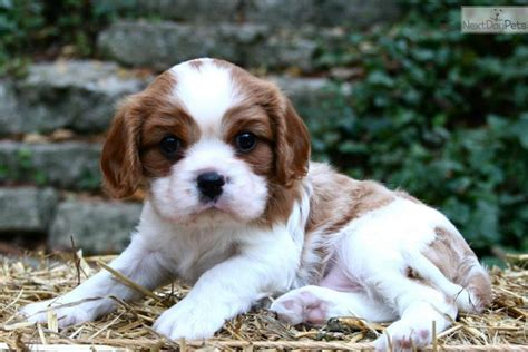 st charles cavalier puppy cavalier king charles spaniel puppy for sale near st louis missouri 337154f4 6e41