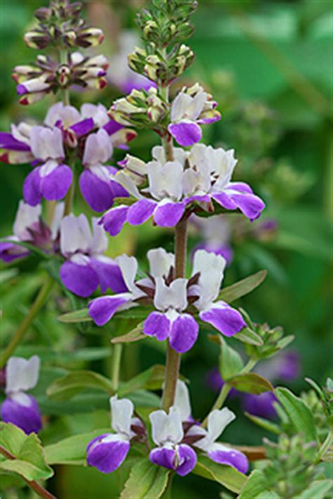 chinese houses flower collinsia heterophylla quot chinese houses quot buy online at