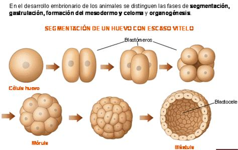 cadenas navarra significado biologia2bachc 1 186 bachillerato reproducci 211 n animal