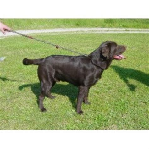 blooded lab puppies for sale in sc green meadow labradors labrador retriever breeder in watkinsville listing