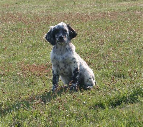 definition de setter fragola roc mignon 233 levage de chien de chasse setter