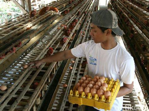 Jual Pakan Ayam Burung Kota Kediri Jawa Timur harga telur di pasaran anjlok peternak di kediri merugi