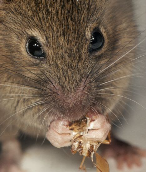 giant mice are feasting on endangered island birds daily
