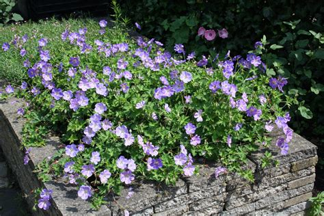 hang planten bloemen buiten langbloeiende vaste planten ultima flora