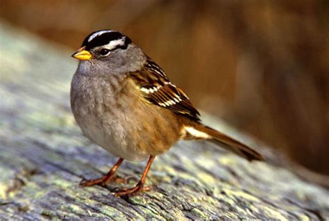nuttall s white crowned sparrow zonotrichia leucophrys