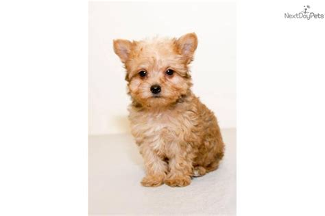 teacup yorkie columbus ohio teacup yorkie poo puppy yorkiepoo yorkie poo puppy for sale near columbus ohio