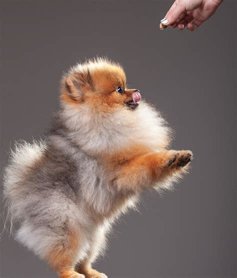 show me a picture of a pomeranian pin coloriage poppixie on