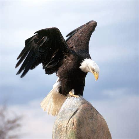 lebih foto burung elang keren glmour gallery wallpaper
