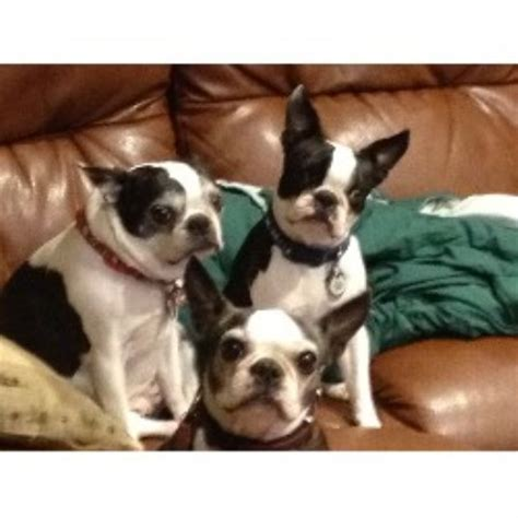 boston terrier puppies for sale in wv boston terrier puppies in wayne west virginia breeds picture