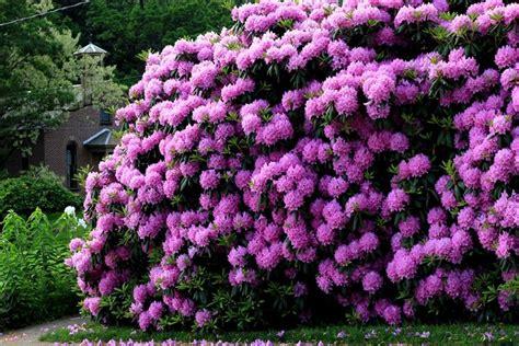 fiore rododendro rododendro piante da giardino come curare il rododendro