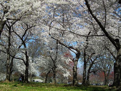 cherry blossom festival dc the cherry blossom festival around d c and arlington