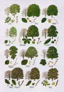 trees types 3 british tree leaf identification keys in plants