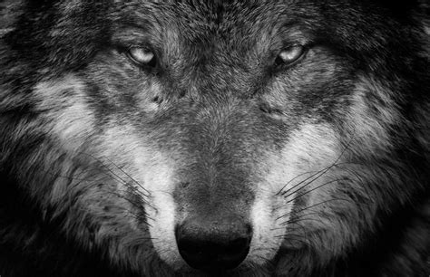 Wolf Wallpapers New Tab ? Tabify.io