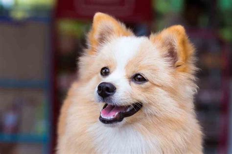 mix pomeranian pomchi pomeranian chihuahua mix an overview ultimate home