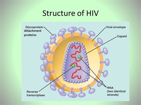 diagram of hiv virus diagram of hiv virus 28 images in their own words